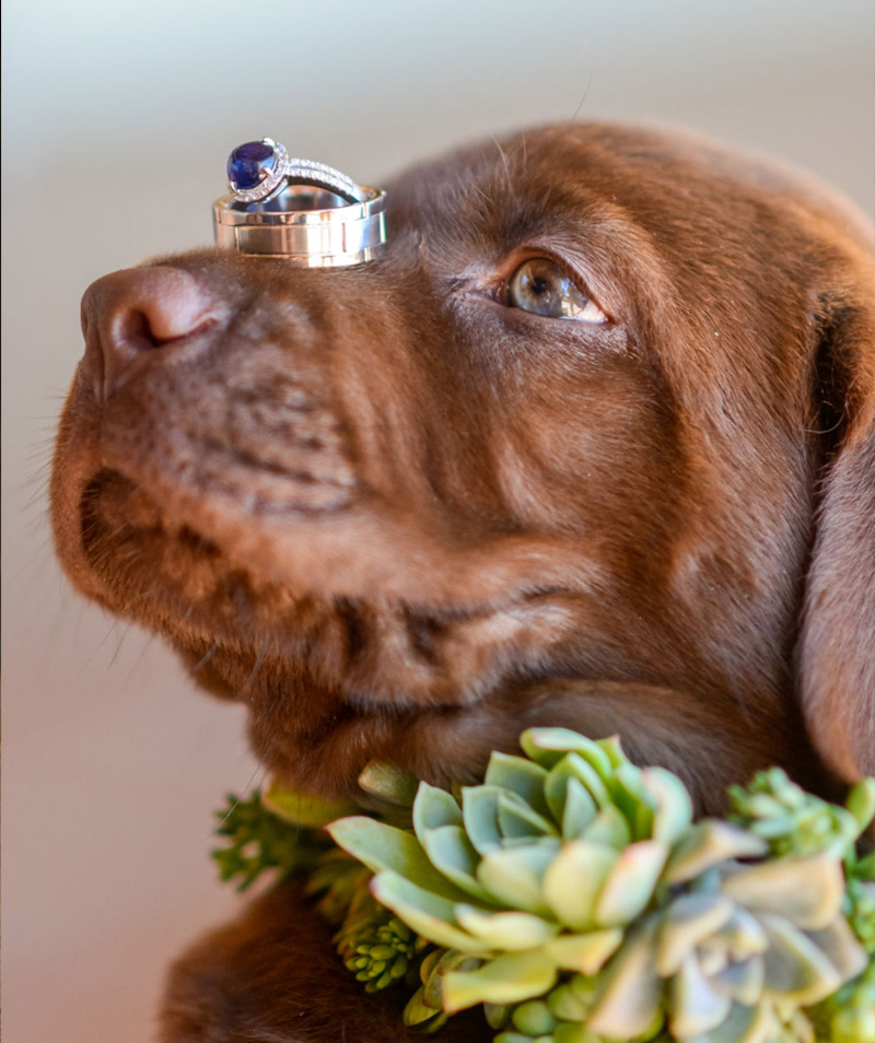 chocolate labrador puppy wedding by jen vazquez photography